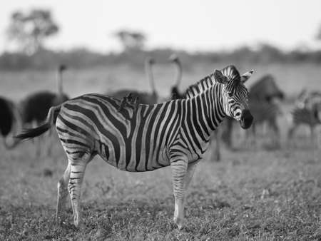 Common Zebra (Equus quagga) foraging in bushveld savanna or Kruger national park South Africa in black and white