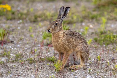 European Hare (Lepus europeaus) sitting in field on the lookout 免版税图像