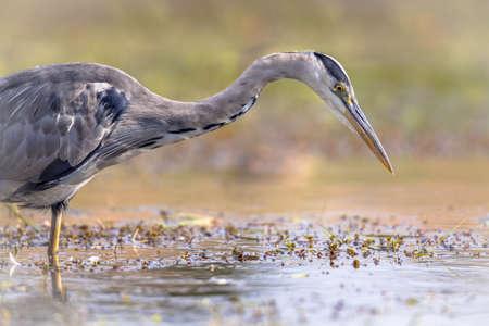 Gray heron (Ardea cinerea) wading bird hunting for fish in wetland in Flanders Belgium
