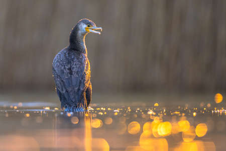 Great cormorant (Phalacrocorax carbo) with golden backlight sunset reflection in Lake Csaj, Kiskunsagi National Park, Pusztaszer, Hungary. February. This large black bird is found in Europe, Asia, Africa, Australia and North America. 免版税图像