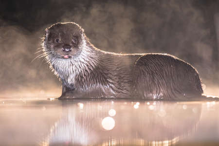 European Otter (Lutra lutra) in shallow water at night in Kiskunsagi National Park, Pusztaszer, Hungary. February. The Eurasian otter has a diet mainly of fish, and is strongly territorial.