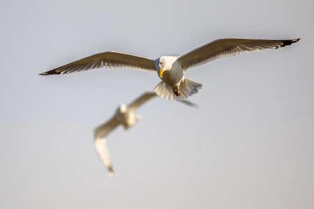Two Yellow-legged gulls (Larus michahellis) flying at Kiskunsagi National Park, Pusztaszer, Hungary. February.