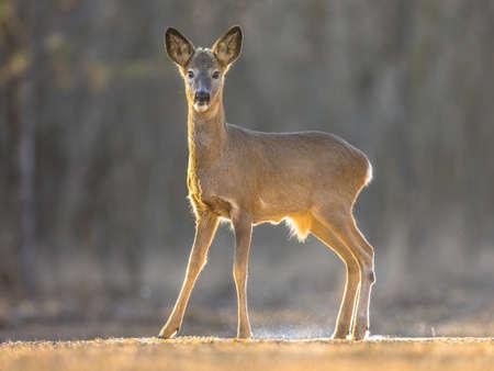 Roe deer (Capreolus capreolus) looking at camera on clearing in Kiskunsagi National Park, Pusztaszer, Hungary. February.