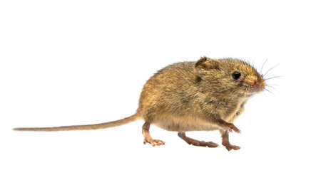 Cute Harvest Mouse (Micromys minutus) walking on white background, studio shot. This is the smallest rodent species native to Europe and Asia. It is typically found in fields of cereal crops, such as wheat and oats, in reed beds. 免版税图像
