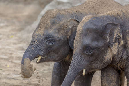 Two young Indian elephants (Elephas maximus indicus) playing with sand