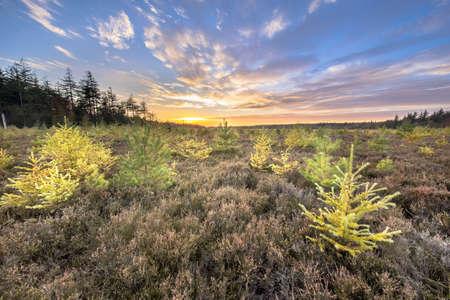 Heathland landscape with bright colored larch (Larix decidua) trees under vivid blue clouded sky at sunset. Drenthe, Netherlands