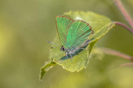Green hairstreak (Callophrys rubi) butterfly resting on green leaf with green background