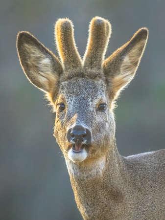 Portrait of male Roe deer (Capreolus capreolus) looking at camera on clearing in Kiskunsagi National Park, Pusztaszer, Hungary. February.