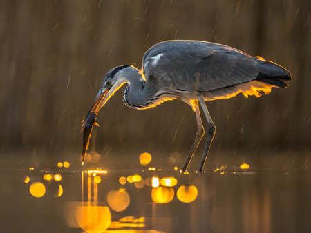 Silhouette of Gray heron (Ardea cinerea) hunting at night with fish in beak at Lake Csaj, Kiskunsagi National Park, Pusztaszer, Hungary. February. 免版税图像