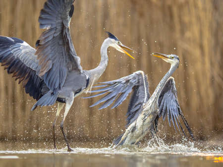 Two Gray herons fighting over territory at Lake Csaj, Kiskunsagi National Park, Pusztaszer, Hungary. February. The Gray Heron is a predatory bird livning in most of Europe, Asia and Africa.
