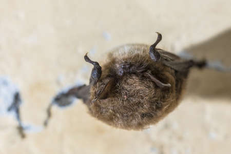 Whiskered bat (Myotis mystacinus) hibernating on ceiling of underground bunker in the Netherands. Hibernation is a state of  inactivity and metabolic depression in endotherms. It most commonly occurs during winter months. Banco de Imagens