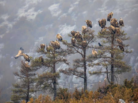 Griffon vultures (Gyps fulvus) group resting in trees  in misty conditions in Spanish Pyrenees, Catalonia, Spain, April. This is a large Old World vulture in the bird of prey family Accipitridae. Фото со стока