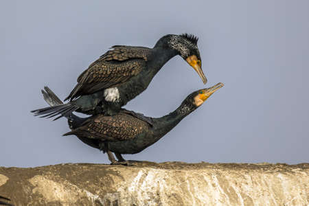 Great cormorant (Phalacrocorax carbo) pair mating at Lake Csaj, Kiskunsagi National Park, Pusztaszer, Hungary. February. This large black bird is found in Europe, Asia, Africa, Australia and North America.