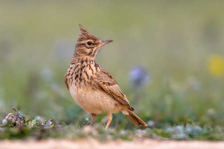 Crested lark (Galerida cristata) foraging on the ground side view in the Spanish Pyrenees, Vilagrassa, Catalonia, Spain. April. Фото со стока