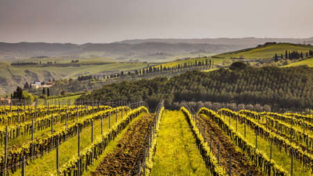 Vineyard in foggy hills of Asciano, Chiusure, Tuscany, Italy, April. Banco de Imagens