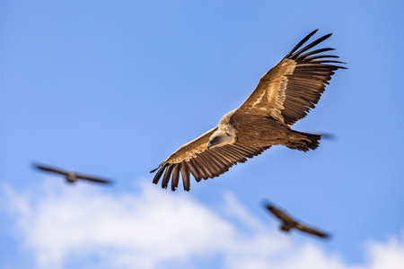 Griffon vultures (Gyps fulvus) group flying against blue sky in Spanish Pyrenees, Catalonia, Spain, April. This is a large Old World vulture in the bird of prey family Accipitridae. It is also known as the Eurasian griffon and closely related to the white-backed vulture (Gyps africanus).