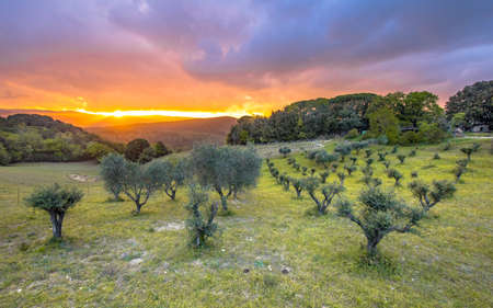 Beautiful sunset over olive grove in hilly landscape of Tuscany, Italy, April.