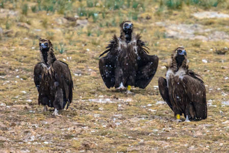 Cinereous vulture (Aegypius monachus) three birds sitting on ground in Spanish Pyrenees, Catalonia, Spain. April. This large raptorial bird is distributed through much of Eurasia. Also known as the black vulture, or monk vulture.