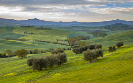 Tranquil landscape with groups of trees in the rolling hills of Val d'Orcia Tuscany, Italy, April.