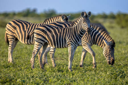 Three Common Zebras (Equus quagga) grazing in bushveld savanna of Kruger national park South Africa