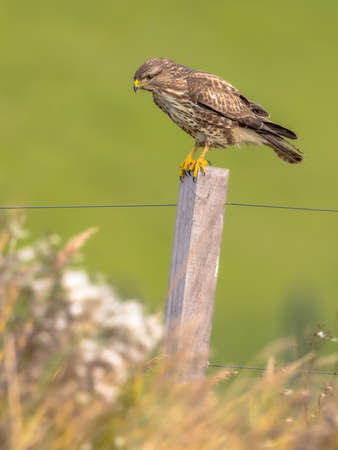 Common buzzard (Buteo buteo) perched on pole on green background and looking for rodent prey. Wildlife scene in nature. Netherlands.