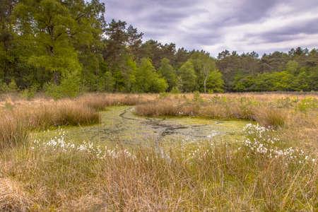 Fen in heathland habitat on forest edge in nature reserve in Westerwolde, Sellingen, the Netherlands