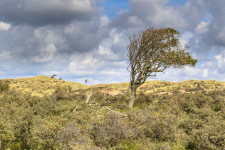 Wind battered tree in dunes of North Holland. Landscape scene in nature of Europe, the Netherlands.