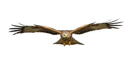 Red kite (Milvus milvus) flying isolated on white background