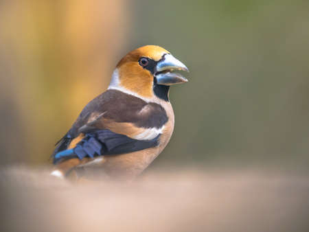 Hawfinch (Coccothraustes coccothraustes),male bird of this great colorful songbird, foraging on the ground on green blurred background, orange head with massive beak, scene from wild nature, wildlife in nature. Netherlands Zdjęcie Seryjne