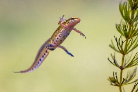 Palmate newt (Lissotriton helveticus) colorful aquatic amphibian male swimming in freshwater habitat of pond. Underwater wildlife scene of animal in nature of Europe. Netherlands. Zdjęcie Seryjne