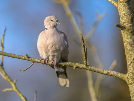 Eurasian collared dove (Streptopelia decaocto) bird perched on branch in tree in ecological garden against blue sky. Wildlife in nature. Netherlands.