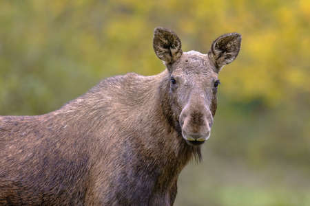 Moose (Alces alces). Elk female portrait in the forest on a rainy day. Beautiful animal in natural habitat. Wildlife scene in nature of Europe..
