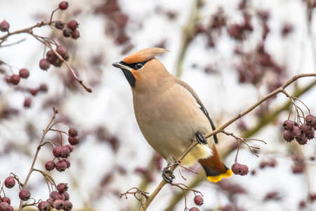 The Bohemian waxwing (Bombycilla garrulus) is a medium-sized passerine bird. It breeds in Northern Europe and in winter it can migrate as far south as Netherlands, Germany, Slovakia and Romania.