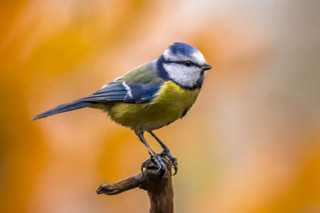 Eurasian Blue Tit (Cyanistes caeruleus) perched on branch looking for food on blurred bright autumn colored background. In garden setting with colorful leaves.