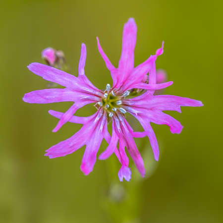 Flower Close up of beautiful ragged-robin (Silene flos-cuculi) purple spring flower. This jewel of the meadow can be found in mesotrophic grassland in may and june. Floral scene in nature of Europe. The Netherlands.