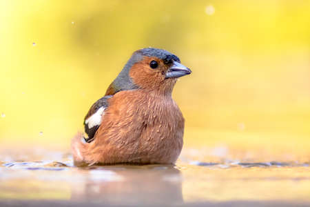 Male common chaffinch (Fringilla coelebs) bird portrait, while walking in water in wild forest with beautiful colorful plumage. Wildlife scene from nature. Netherlands.