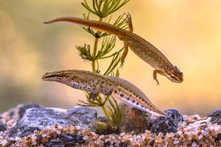 Palmate newt (Lissotriton helveticus) colorful aquatic amphibian pair swimming in freshwater habitat of pond. Underwater wildlife scene of animal in nature of Europe. Netherlands.