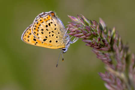 European Butterfly Sooty Copper (Lycaena tityrus) with blurred