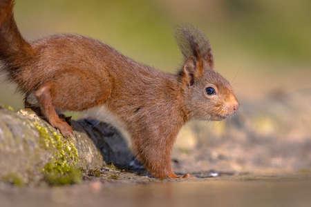 Eurasian red squirrel (Sciurus vulgaris) on trunk in forest