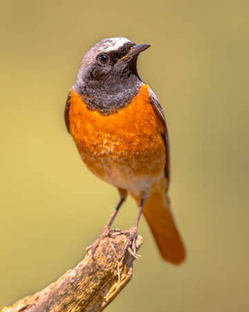 Common Redstart (Phoenicurus phoenicurus). Beautiful bird perched on branch of tree in the forest. Wildlife in nature. Netherlands. Zdjęcie Seryjne