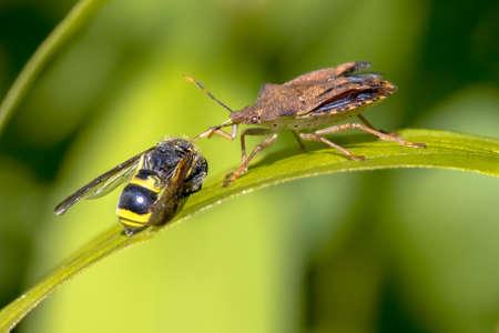 Heteroptera with wasp prey in nature Zdjęcie Seryjne