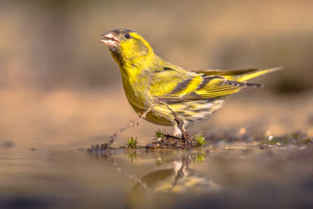 Eurasian Siskin (Carduelis spinus). Yellow bird drinking from shallow pond, clear background. Wildlife scene in the nature. Netherlands