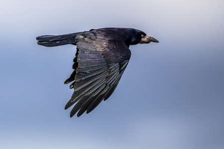 Portrait of flying Eurasian rook (Corvus frugilegus). Black bird with bare base of bill walking in grass and looking for food. Widlife in nature. Netherlands.