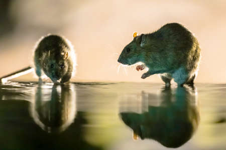 Two Brown rats (Rattus norvegicus) walking through water at night. Netherlands. Wildlife in nature of Europe.