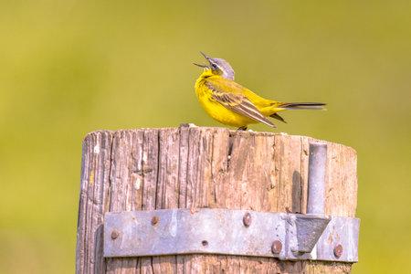 Western yellow wagtail (Motacilla flava) bird singing on a pole on the dutch countryside. Wildlife scene in nature. Netherlands Zdjęcie Seryjne