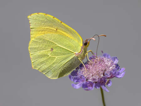 Cleopatra butterfly (Gonepteryx cleopatra) feeding on nectar of flower. Wildlife scene in nature of Europe. France