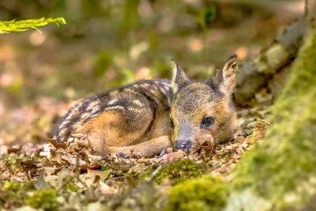 Adorable roe deer fawn (Capreolus capreolus) resting in reliance of camouflage in forest. Friesland, Netherlands. Wildlife scene in nature of Europe. Zdjęcie Seryjne