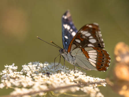 Southern white admiral (Limenitis reducta) feeding on white flowers on green background. Wildlife scene of Nature in Europe. France