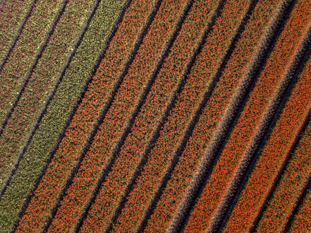 Tulip field from above. Aerial view of bulb-fields in springtime, located near Beilen, province of Drenthe, the Netherlands Zdjęcie Seryjne