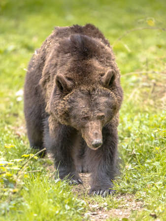 European brown bear ((Ursus arctos) frontal view. This is the most widely distributed bear and is found across much of northern Eurasia and North America.